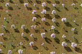 Aerial view of almond trees in flowers in the farm land, Mallorca lands, Balearic Island, Spain.