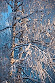 Snow covered birch  betula  branches at Winter, LocationSuonenjoki,Finland,Scandinavia,Europe