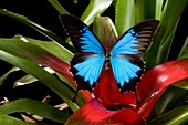 Dunk Island bluewinged butterfly Papilio Ulysses on water gathering plant