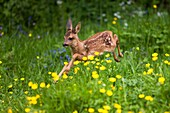 Roe Deer, capreolus capreolus, Foan running through Flowers, Normandy