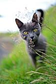 Playful grey cat in streets of Velbastaður, Faroe Islands.