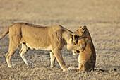 Lion cub (Panthera leo) playing with his mother on the savanna, Grumeti, Serengeti national park, Tanzania.