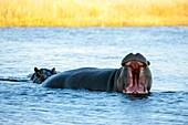Yawning Hippopotamus (Hippopotamus amphibius) in river near Chitabe in the Okavango Delta in northern part of Botswana.