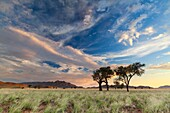 Landscape photo of camelthorn trees in a grassy valley under sunset skies. Namib Naukluft National Park, Namibia.