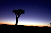 Quiver tree (aloe dichotoma) shortly after sunset, Namibia