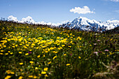 Mountain meadow and glaciate mountain (Ortler 3905 m), Vinschgau, South Tyrol, Italy