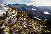 Snow-covered mountain pine, descent from Unnutz Mountain (2078 m), Rofan Mountains, Tyrol, Austria