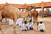 Camel market. Al Ain. Emirate of Abu Dhabi. EAU. Persian Gulf. Arabia.