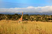 Africa, African, Travel, Nature, Animal, animals, fauna, Sub_Saharan, East Africa, Scenic, landscape, travel, Wild, wild life, wildlife, ecosystem, safari, trip, Adventure, tropics, tropical, equator, equatorial, Uganda, giraffe, Giraffa camelopardalis, g
