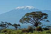 Kenya, Amboseli, Kilimanjaro, acacia tree landscape
