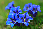Alps, Alps, gentian, Alpine flower, Alpine flora, mountain, mountain flower, mountains, mountain pasture, canton Bern, Bernese Oberland, flowers, blossom, flourish, detail, gentian, flora, mountains, Gentiana acaulis, Gentiana alpina, macro, close_up, Swi