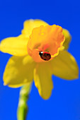 2, Adalia bipunctata, flower, flowers, blossom, flourish, Coccinellidae, detail, field, spring, garden, garden flower, yellow narcissus, daffodil, Narcissus, narcissists, sky, insect, beetle, macro, ladybird, pattern, close_up, Narcissus pseudonarcissus,