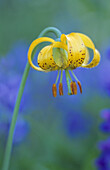 Alpine tiger lily/Columbia lily (Lilium columbianum), Olympic National Park, WA, USA.