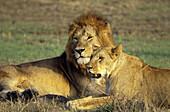 African lion (Panthera leo) mated pair, Maasai Mara National Reserve, Rift Valley, Kenya.