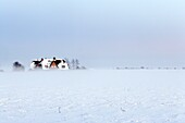 Snow covered field, with fog coming up from the surface and traditional frisian houses with red bricks at the horizon, Sylt Island, North Frisian, Schleswig-Holstein, Germany, Europe