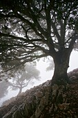 Holm Oak (Quercus ilex), Serra des Cairats, Valldemossa, Serra de Tramuntana, Majorca, Balearic Islands, Spain