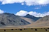 Yak herd, Sangsang, Ngari province, Tibet, China