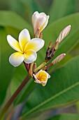 Frangipani flowering  Scientific name: Plumeria alba  Langkawi, Malaysia