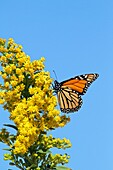 A Monarch Butterfly, Danaus plexippus, feeding on Seaside Goldenrod, Solidago sempervirens  Lavalette, New Jersey, USA  During the fall migration to Mexico, many Monarchs hug the eastern seaboard, the Atlantic Flyway, feeding on the Goldenrod plant