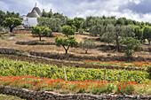 Vines poppies and trulli between Alberobello and Locorotondo, Puglia, Italy.
