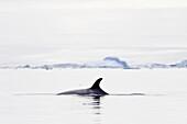 Adult Antarctic Minke Whale Balaenoptera bonaerensis surfacing in ice near Larrouy Island on the wes