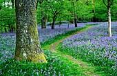 Path through bluebell wood England  Spring season Springtime April