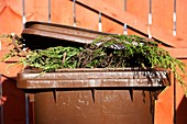 brown recycling bin with green leylandii bushes sticking out of it and lid not closed properly in the uk