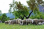 Livestock at La Portellada  Matarraña, Teruel  Aragon  Spain