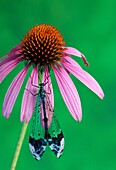 Lacewing or Antlion, Myrmeleontidae, rests on a purple coneflower, Echinacea purpurea, in summer. Missouri, USA