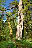 Bialowieski National Park, Strict Nature Reserve, royal oak, Bialowieza National Park, Poland, Europe