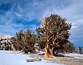 Grove of old bristlecone pines Pinus longaeva, Patriarch Grove, Ancient Bristlecone Pine Forest Area, Inyo National Forest, California, USA