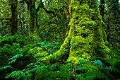 New Zealand, Southland, Fiordland National Park  Dense native woodland near the Upper Spey hut on the Dusky Track