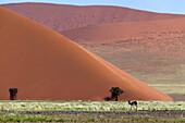 Beautifull colours in the desert after the rain, Namib-Naukluft National Park, namib desert, Namibia.
