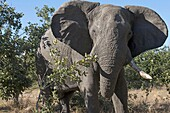 A copy of adult elephant walks near Savute Elephant Camp by Orient Express in Botswna in Chobe Natio