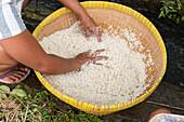 Indonesian woman washing rice, Tetebatu, Lombok, Indonesia
