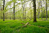 Trees with spring foliage in a beech forest near Bringhausen in Kellerwald-Edersee National Park, Lake Edersee, Hesse, Germany, Europe