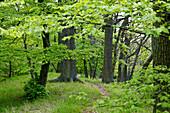 Beech forest in springtime near Bringhausen in Kellerwald-Edersee National Park, Lake Edersee, Hesse, Germany, Europe