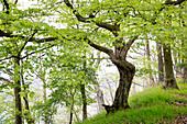 Rustic beech tree with spring foliage near Bringhausen in Kellerwald-Edersee National Park, Lake Edersee, Hesse, Germany, Europe