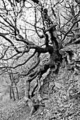 Rustic beech tree along the Kahle Hard Route near Bringhausen in Kellerwald-Edersee National Park, Lake Edersee, Hesse, Germany, Europe