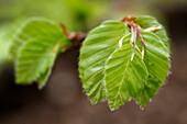 Close-up of freshly grown beech tree leaves in Kellerwald-Edersee National Park, Lake Edersee, Hesse, Germany, Europe