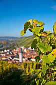 Herbstlicher Weinstock am Weinberg Marsberg im Herbst, Randersacker, nahe Würzburg, Franken, Bayern, Deutschland, Europa