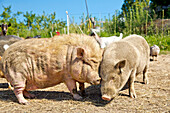 Happy pigs squabbling at an organic farm, Edertal Gellershausen, Hesse, Germany