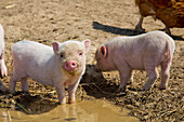 Piglets at an organic farm standing at a wallow puddle, Edertal Gellershausen, Hesse, Germany