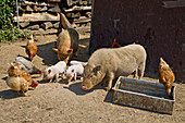 Peaceful coexistence of pigs and chickens at an organic farm, Edertal Gellershausen, Hesse, Germany