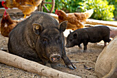 Mother Peccary surounded by the peaceful coexistence of pigs and chickens at an organic farm, Edertal Gellershausen, Hesse, Germany