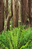 Redwood, Stillwater Cove Regional Park, Sonoma Coast, California, United States
