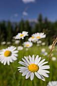 Margerite (Leucanthemum vulgare), flower meadow, near Windischgarsten, Upper Austria
