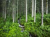Forest near Krimml, Gerlospass, Pinzgau, Salzburg, Austria