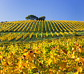 autumnal vineyards between Gumpoldskirchen and Baden near Vienna, Vienna basin, Lower Austria, Austria