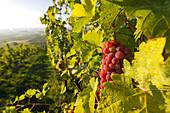 Vineyards between Baden near Vienna and Gumpoldskirchen, Vienna basin, Lower Austria, Austria